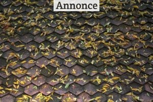 Er alger på taget farligt?